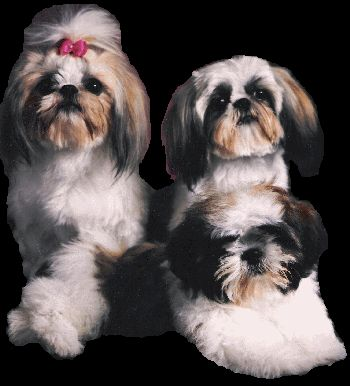 Chinese Imperial Dog Breed Information and Pictures