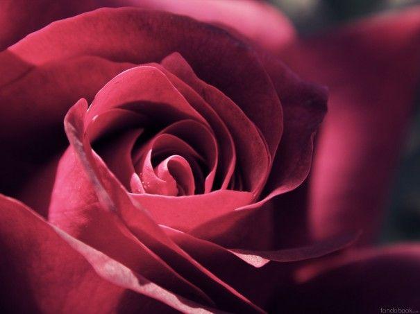 Descargar Rosa roja primer plano HD rojo naturaleza escritorio hd 43