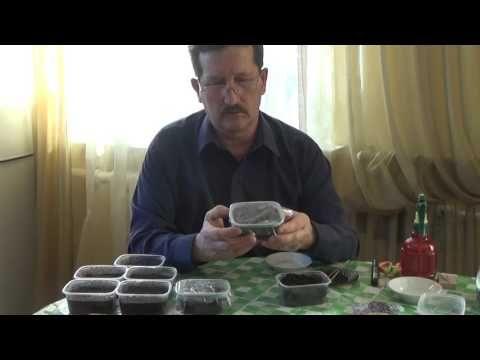 Выращивание петунии и лобелии. Посадка и уход за рассадой 2016 год. - YouTube