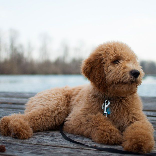 Haircuts For Goldendoodles Pictures: Spingview FL Mini Goldendoodles Red Doodles T