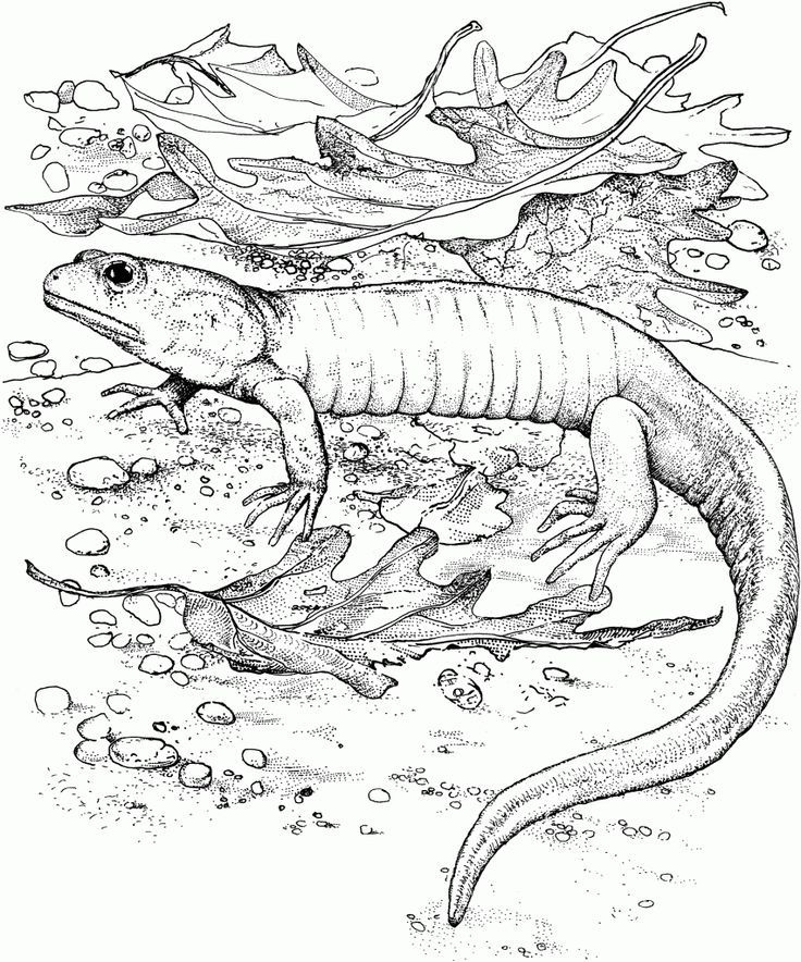 Pdf Free Printable Lizard Coloring Pages For Kids Free Dragon Coloring Page Coloring Pages Chibi Coloring Pages