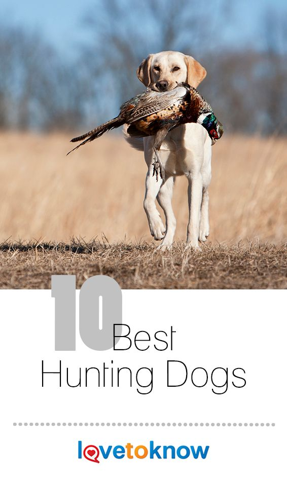 10 Best Hunting Dogs Bird Dog Training Dogs Hunting Dogs