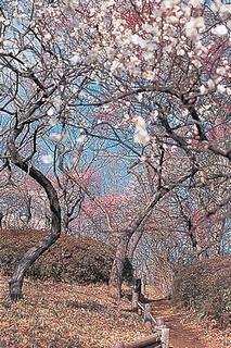 春は梅の花が咲き誇る。羽根木公園。東松原駅近くの羽根木公園。井の頭線のおすすめスポット