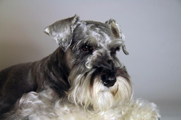 10 Gentlemanly Facts About the Miniature Schnauzer | Mental Floss UK