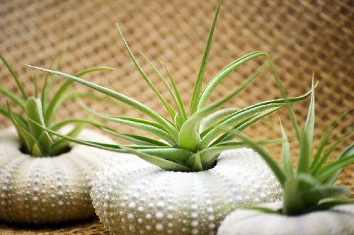 9GreenBox - Air Plant Tillandsia Brom... for only $8.99