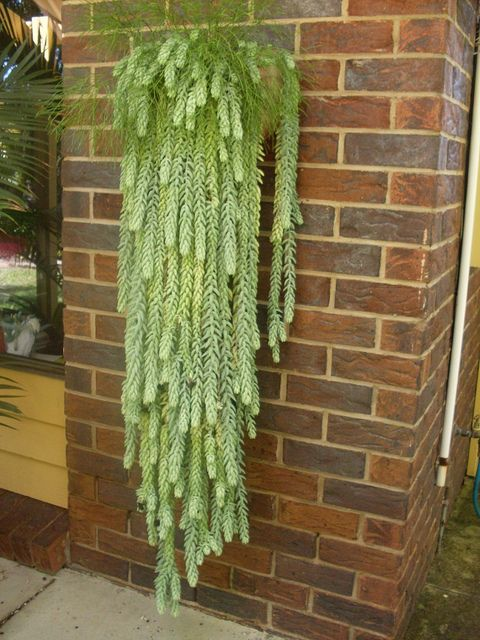 Hanging Sedum morganianum... now if I could just keep dividing mine I might have something like this sometime down the road!