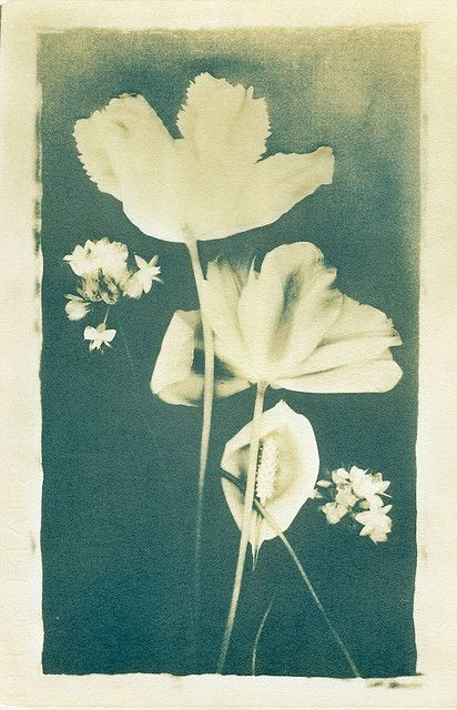 Split-toned Flower Scan | Flickr - Photo Sharing!(split-toned cyanotype, using sodium carbonate - washing soda)