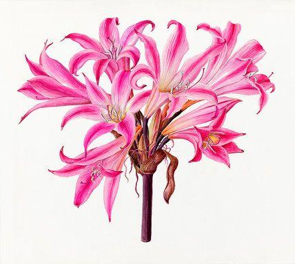 Lilian Snelling -- 'Amaryllis belladonna rubra' -- Lilian Snelling -- Artists -- RHS Prints