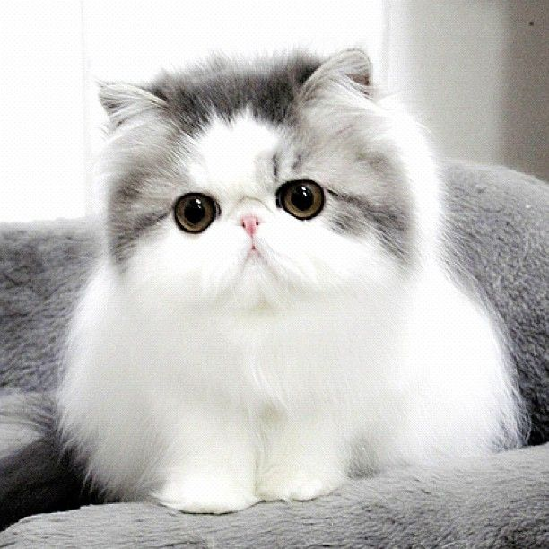 I love this cat. Persian.