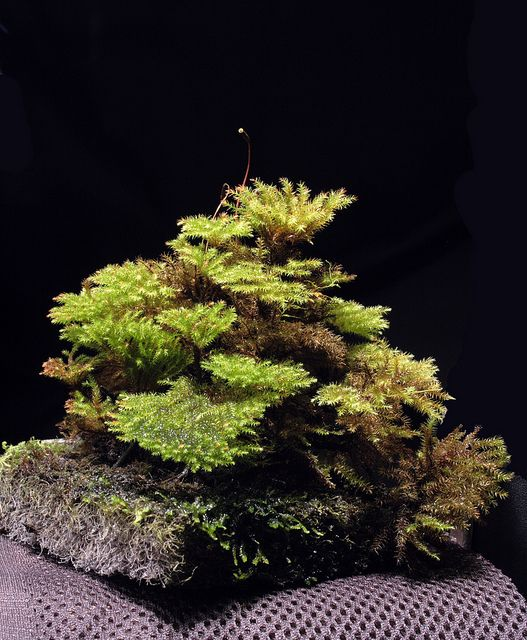Bonsai moss - Microdendron sinense, via Flickr.