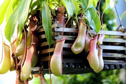 На нашей Земле произрастает более полумиллиона различных видов уникальных растений. К ним относится и Непентес (Nepenthes) — редкое насекомоядное растение-хищник семейства Непентовые. В естественных условиях это растение живет на стволах тропических и субтропических деревьев Азии, Индонезии и далекой Австралии. Его уникальность заключается в видоизмененных крупных листьях, черешки которых обвивают ветки рядом растущих кустарников и деревьев. Фото: © Manuel