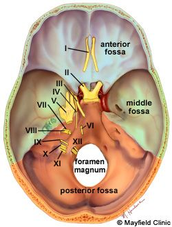 INSIDE THE SKULL, housed are these areas: anterior fossa, middle fossa, and posterior fossa. The posterior fossa contains the brainstem, cerebellum, and cranial nerves IV-XII. The posterior fossa (orange color) is formed by the occipital bone, which has a large hole (foramen magnum) for passage of the spinal cord.