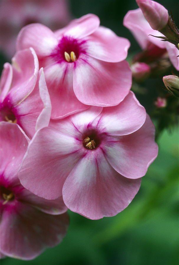 ~~Garden Phlox Flowers (phlox Paniculata) by Dr. Nick Kurzenko~~