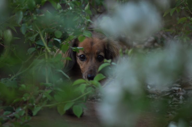 #dachshund #dogs #Pets #Garden # roses