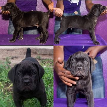 Cane Corso Puppy For Sale In Tampa Fl Adn 36403 On Puppyfinder