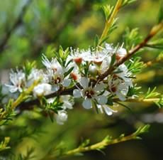 Botanical Name: Melaleuca Alternifolia      Main Constituents:   Terpinen-4-ol: 42.27%   1,8 Cineol: 2.39%      Plant Part: Leaves      Origin: Australia      Processing Method: Steam Distilled      Description / Color / Consistency: A thin, clear, pale yellow liquid.      Aromatic Summary / Note / Strength of Aroma: A middle note with a medium aroma, Tee Tree has a fresh, slightly medicinal scent with characteristic woody, camphoraceous notes.      Blends With: Cinnamon Bark, Clary…