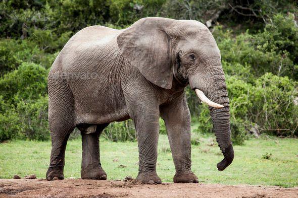 African elephant bull. by bluefern. Lone African elephant bull in the wild African bush near a water hole.