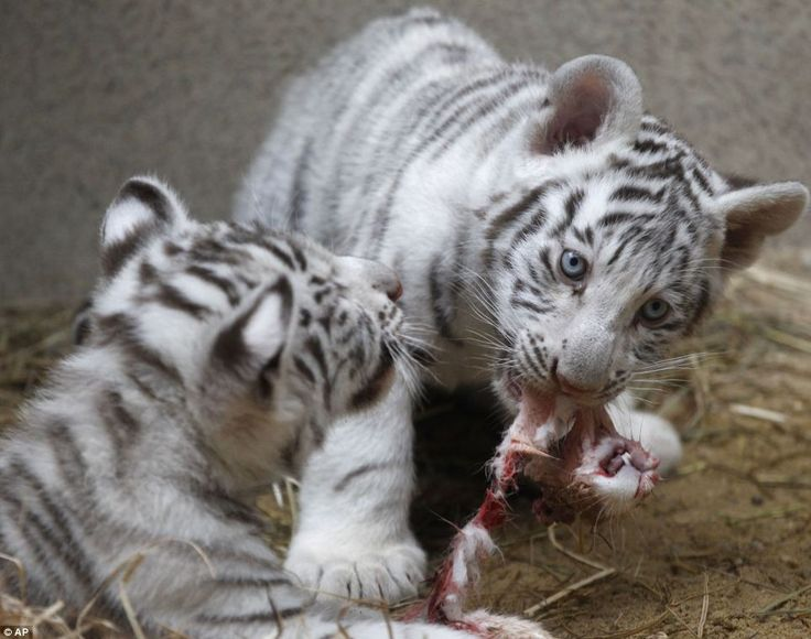 Babies baptized: The white tiger triplets will be baptized on Saturday in the northern Czech city of Liberec