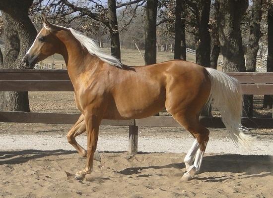 An palimino Arabian horse.