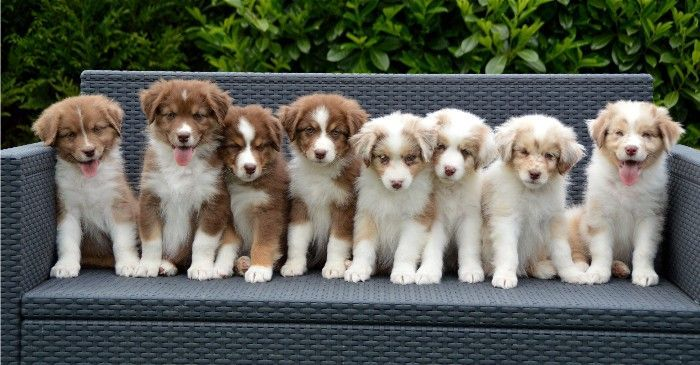 Pin By Maria On Photographie Australian Shepherd Puppy Australian Shepherd Dogs Puppy Litter