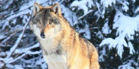 Pour la Sauvegarde du Loup en France ** For the Safeguarding of the Wolf in France **Please sign** https://secure.avaaz.org/fr/petition/Pour_la_auvegarde_du_Loup_en_France/?dVDnTab