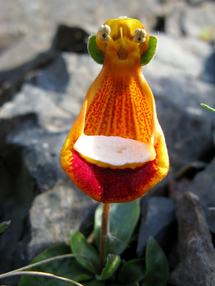 The Happy Alien plant - Calceolaria uniflora - is a bizarre looking species of evergreen, alpine plant from Tierra del Fuego