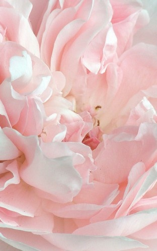 Many-petaled flower...looks like a peony to me, which is my fav flower.