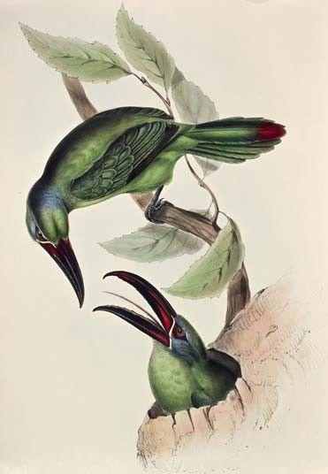 Edward Lear's illustrations: toucanet
