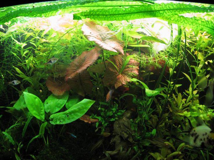 Успешное выращивание растений без добавления удобрений и СО2 - Аквафорум - форум аквариумистов и террариумистов