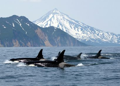 about 80 Orca's, in 3 different pods make the water off the West coast of BC home, whale watching is great in the spring and summer