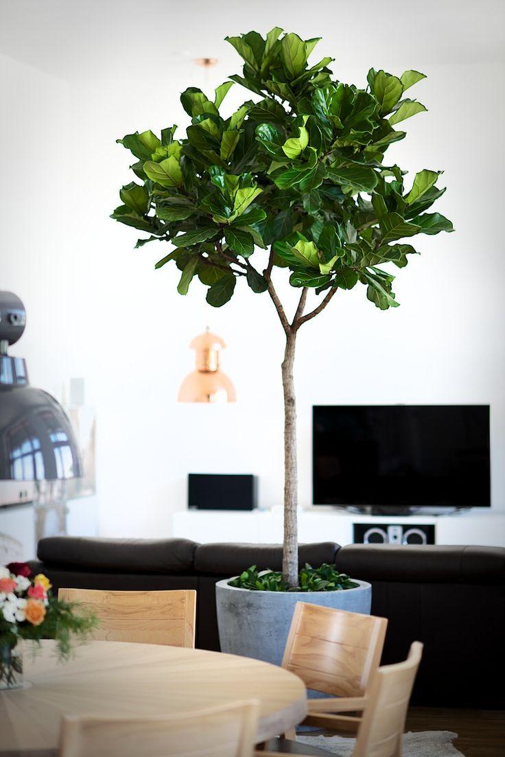17 Best Images About Ficus On Pinterest Plants Living