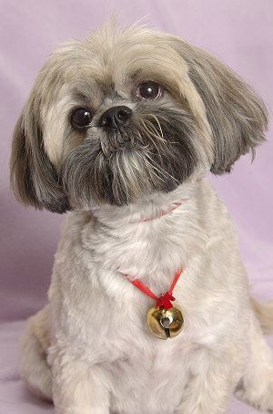 Lhasa Apsos - Very loyal to their own family and make a great watchdog. Best for a confident owner as these dogs are very strong-minded.