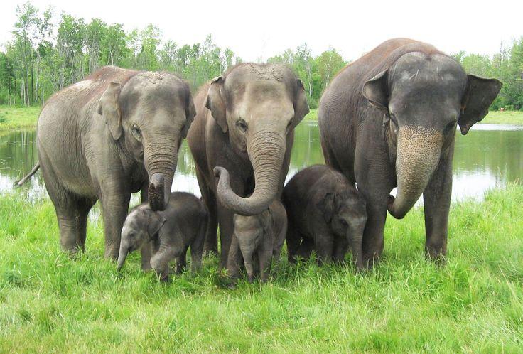 Meet African Lion Safari's newest additions Hannah, Gigi and Anna May! #AfricanLionSafari #Elephants