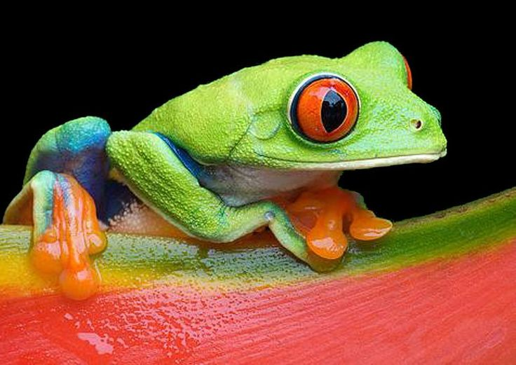 Red-Eyed Tree Frogs, Red-Eyed Tree Frog Pictures, Red-Eyed Tree ...