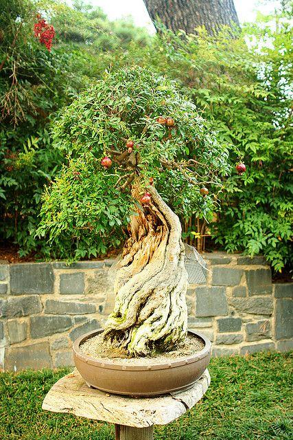 pomegranate bonsai | Pomegranate bonsai tree | Flickr - Photo Sharing!