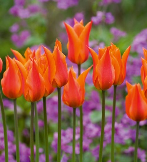 A beautiful orange with a sweet scent – Tulip 'Ballerina' is an absolute must in my garden. It's fantastic planted with dark wallflowers or with…