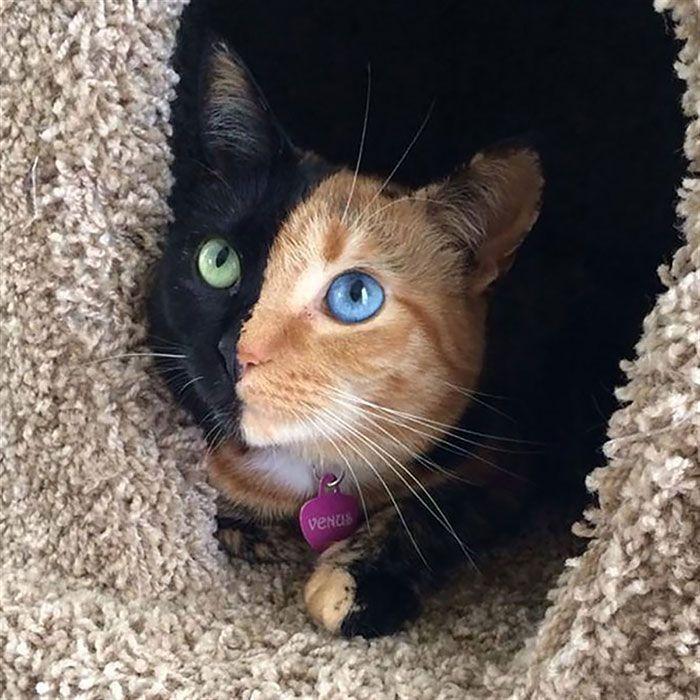 Este gato se llama Venus y sufre de ojos diferentes no por causa de la heterocromía, si no por el Quimerismo.  El Quimerismo es un trastorno genético donde las células de un ser vivo tienen 2 tipos de ADN.  En otras palabras es como si fuera 2 gatos en 1, he ahí la causa de sus distintos colores de ojos y piel.