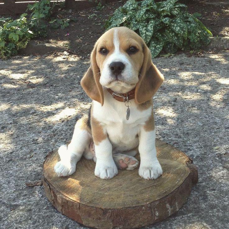 A Beagle Puppy Best 25+ Beagle puppie...