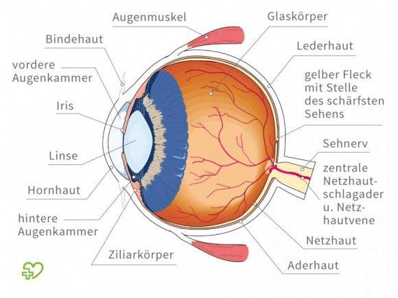 Eine grafische Darstellung des Augapfels im Querschnitt. Umgangssprachlich wird der Augapfel auch als Auge bezeichnet.