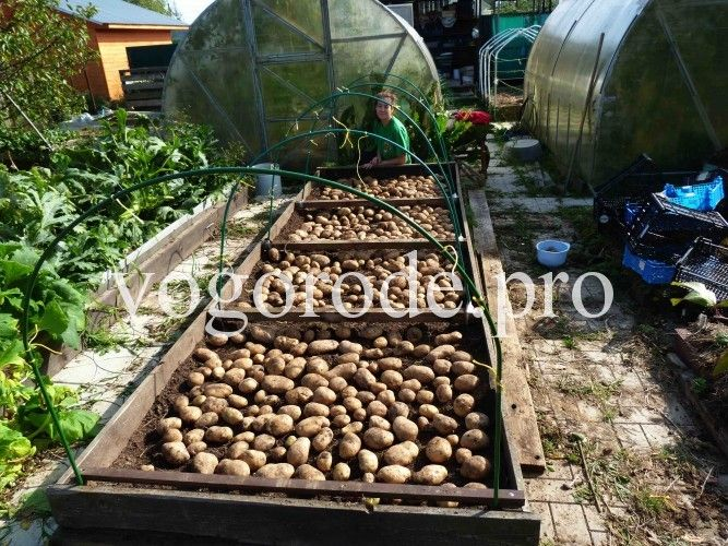 Продолжаем выращивать картофель на даче, экологически чистый, без внесения навоза и минеральных удобрений, под мульчей. Результат - 100кг с грядки 5 кв.м
