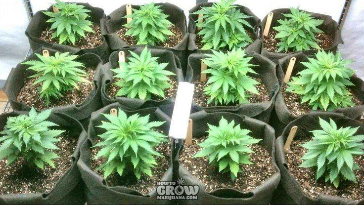 12 Secrets for Successful Marijuana Cloning