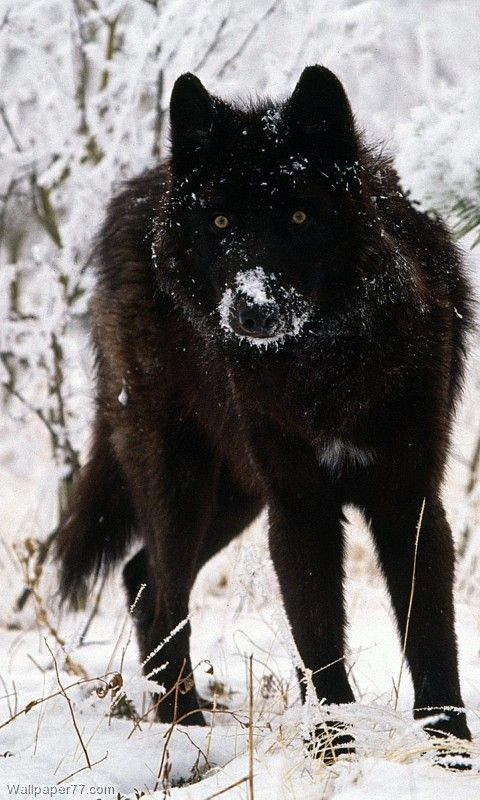 There's just something about black wolves  wolves #animals  STOP KILLING WOLVES !