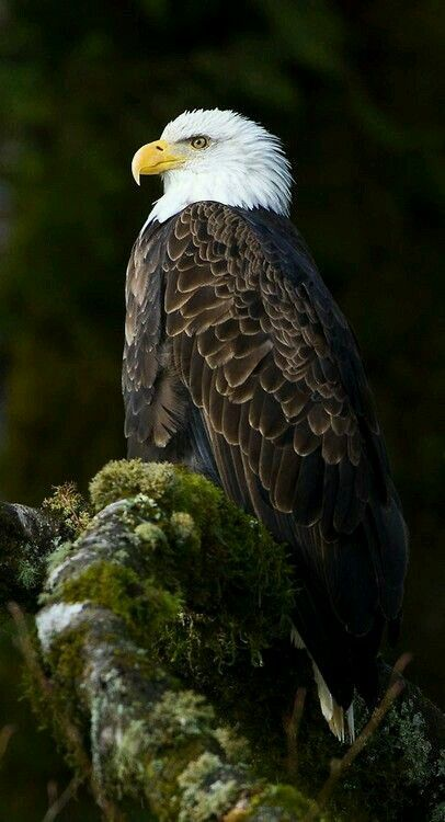 Regal Eagle. Personifies strength and beauty.                                                                                                                                                                                 More