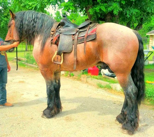 Buckskin Belgian Draft Horse - Interesting image. You don't often see a draft horse with a western saddle!