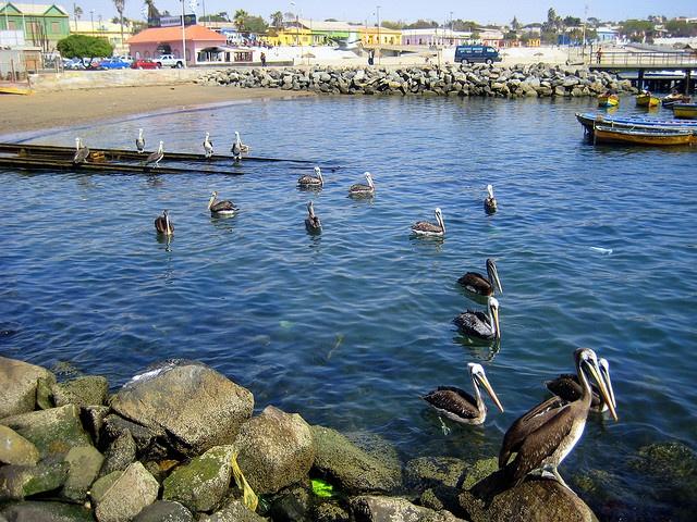 Pelicanada    Bandada de pelicanos en el muelle de Caldera.