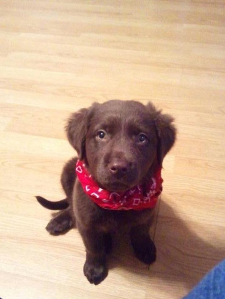 Chocolate lab/golden retriever mix :)  I wonder if Dory's chocolate sister looked like this?