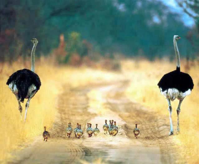 Familia de Avestruces.