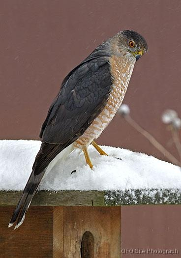 Cooper's Hawk (Accipiter cooperii) is a medium-sized hawk native to the North American continent and found from Southern Canada to Northern Mexico.