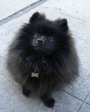 Black Pomeranian Puppy Dog