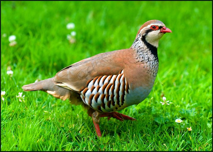 Red legged partridge / Rode Patrijs, seen in Suffolk during a hawking day with Tony James, 2013